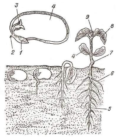 Рис. 1. Семя фасоли и его прорастание: 1 - зародышевый мешок; 2...
