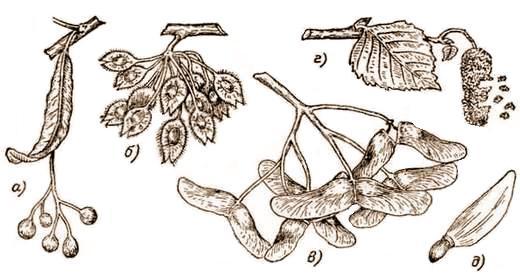 семена деревьев. фото