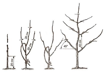 Формирование пальметты