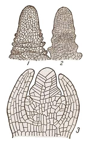 Теория строения конус нарастания стебля